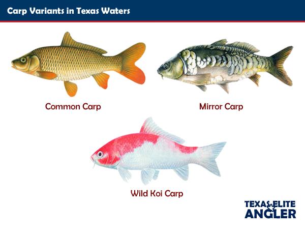 Myth Busters Carp Texas Elite Angler